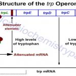 trp Operon