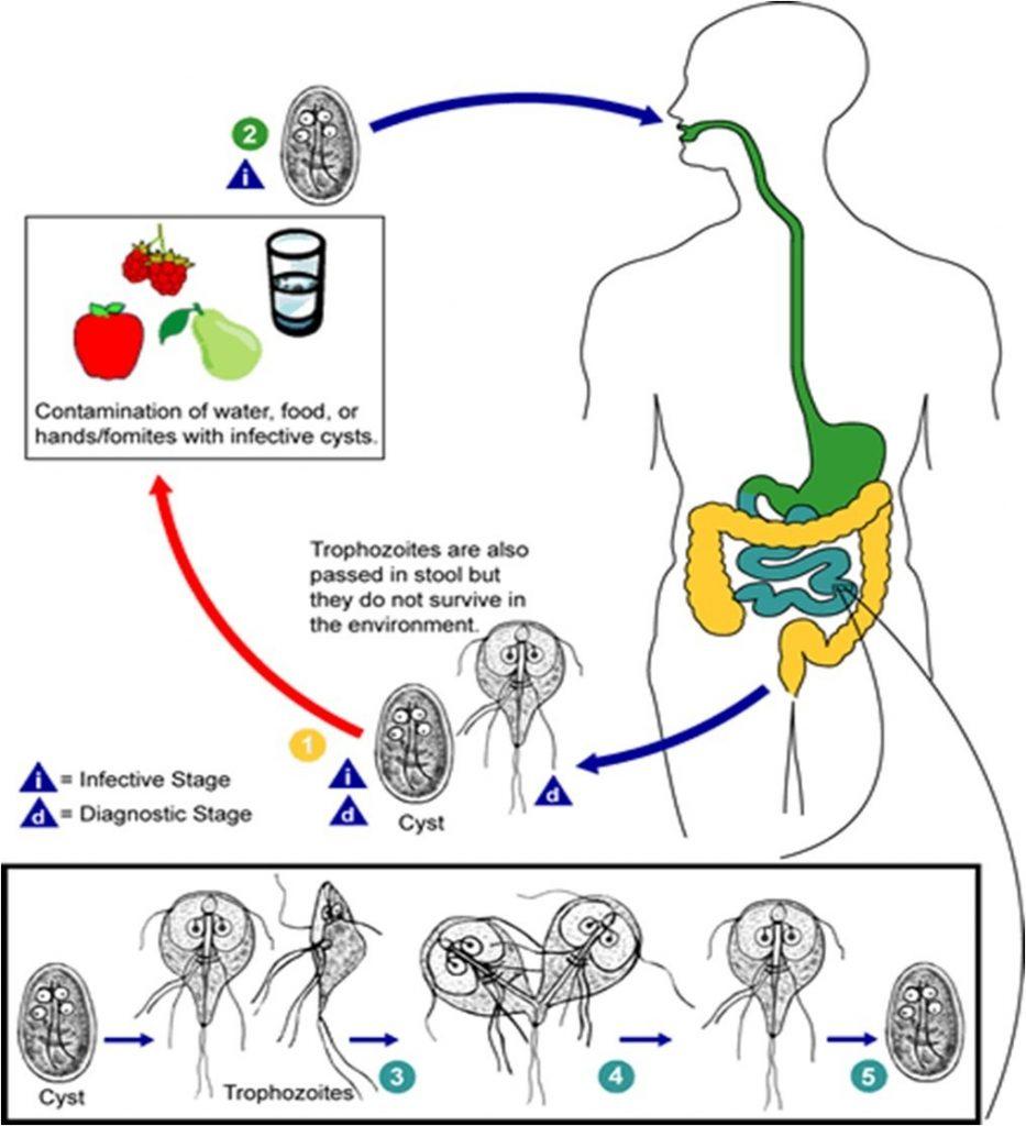 a giardiasis átviteli tényezői